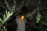 Greece, Peloponese, prefecture of Ileia, Giannitsohori. Olive tree is very flammable. © Maro Kouri