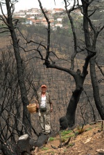 In the burned mountains of Ileia prefecture, villages  Smerna, Artemida and Makisto.   With a basket in one hand and with the pocketknife in the other, Joakim Cunill explains that the enormous quantities of ash, change soil's  ph so that the burned trunks function as fertilizer from magnesium and carbonic calcium, inactivate the natural acidity of soil & having as a result, comestible mushroom that  we searh & that previously could not be bared, to sprout.   Mushroom safari in burned Greece  © Maro Kouri